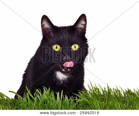 Black kitten hunting sitting behing green grass isolated on white background