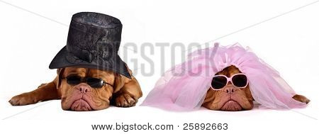 A male and a female Dogue De Bordeaux dressed as a bride and groom, isolated on white