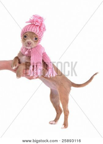 Chihuahua puppy dressed with pink hat and scarf, standing with paws on palm