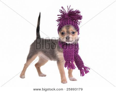 Cute chihuahua puppy wearing hat and scarf standing, isolated on white background