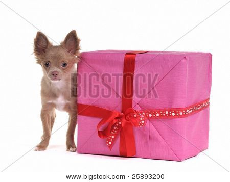 Chihuahua puppy with gift box, isolated on white background