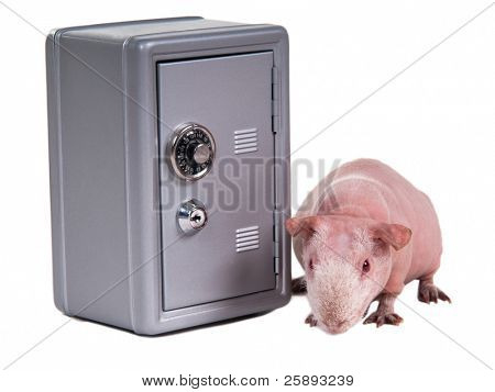 Bald guinea pig is sniffing for thieves near a metal safe