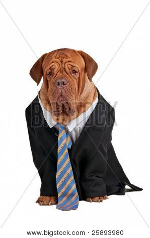 Dogue de bordeaux dresed like a serious businessman