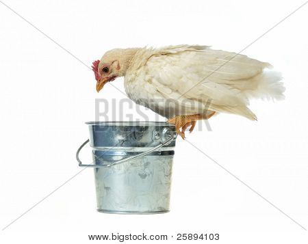 Chicken sits on bucket eating it's feed