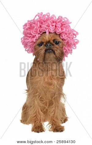 Cute griffon dog with pink curly wig, isolated on white background