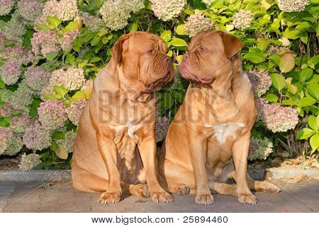 Two dogues de bordeaux sitting in front of flowers in the garden