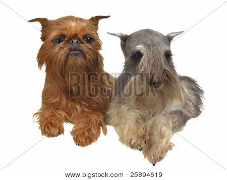 Lying griffon and schnauzer dogs above white banner isolated
