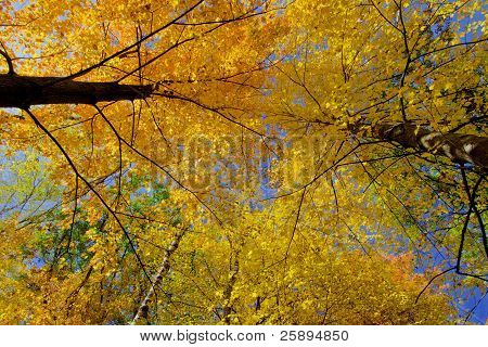 Maple Treetops, In Autumn