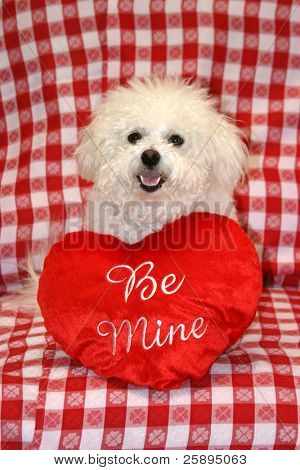Fifi a Bichon Frise, smiles for the camera with valentine day heart pillows against a red and white checker board background