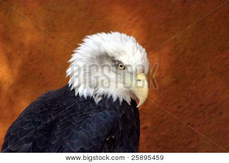 an amerian bald eagle looks down while watching something that catches its intrest