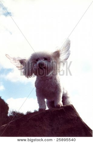 Beau a Bichon Frise streches his wings while standing upon a cliff and dreams of soaring with the eagles