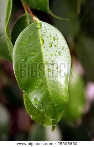 water drops on a green ficas leaf bring out the color and texture of this beautiful image