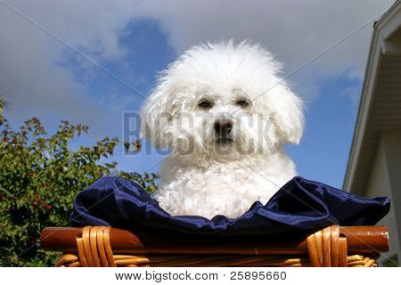 Fifi the Bichon Frise sits in a wooden basket covered with dark blue silk material with a blue sky and white fluffy clouds in the background