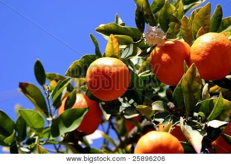 tangerines growing on a tree with a bright blue sky background