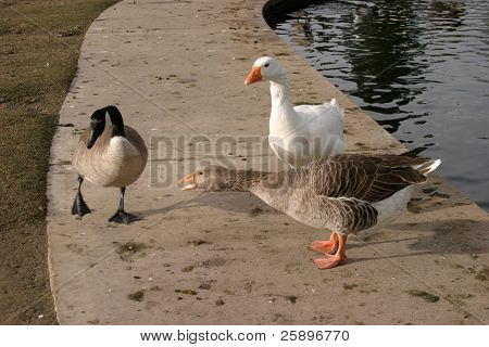 a goose warns a canadian goose that he is too close to his mate