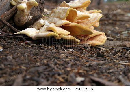 Fruiting bodies of the sulfur fungus, Laetiporus sulphureus growing on a eucalyptus tree