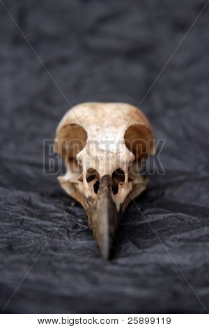 crow skull on crumpled black construction paper