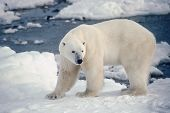 pic of polar bears  - Large male polar bear on the shore of Hudson - JPG