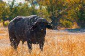 African Cape Buffalo At Moremi Game Reserve Botswana, Africa Safari Wildlife poster