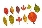 Colorful Autumn Leaves Isolated On A White Background: Seasonal Botany. poster