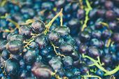 Blue Vine Grapes. Grapes For Making Ice Wine. Detailed View Of A Frozen Grape Vines In A Vineyard In poster