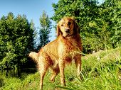 Young Golden Retriever Swim And Play At Pond. Actions Training Games With Family Member And Popular  poster