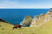 Coast Path View North Cornwall On Path From Tintagel To Boscastle With Cows poster