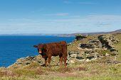 Red Ruby Devon Cow Cattle Pedigree Uk Herd poster