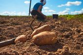 Fresh Harvested Potatoes On The Field, Dirt After Harvest At Organic Family Farm. Workers Work On Th poster