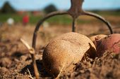 Fresh Harvested Potatoes And Garden Fork On The Field, Dirt After Harvest At Organic Family Farm. Wo poster