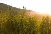 Springs Of Bushes In The Evening Sunlight, Altai Republic, Russia Small Bush Leaves, A Haze Of Sunli poster