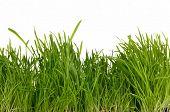 foto of catnip  - Fresh green grass isolated on white background - JPG