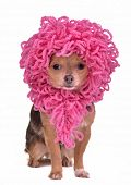 stock photo of peculiar  - Chihuahua puppy wearing funny pink wig isolated on white background - JPG