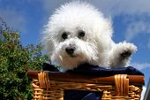 Fifi the Bichon Frise sits and waves at you the viewer while in a wooden basket covered with dark blue silk material with a blue sky and white fluffy clouds in the background poster