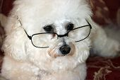 picture of bichon frise dog  - a close up of fifi a Bichon Frise wearing her reading glasses - JPG