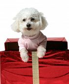 Fifi, a Bichon Frise smiles while looking out from a red Christmas Present with Gold Ribbon and a Go poster
