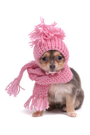 foto of chiwawa  - Chihuahua Puppy Funnily Dressed With Scarf and Hat For Cold Weather - JPG
