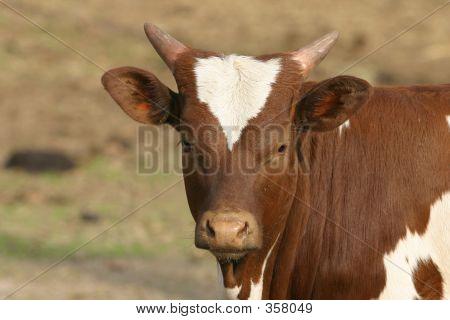 Longhorn Calf