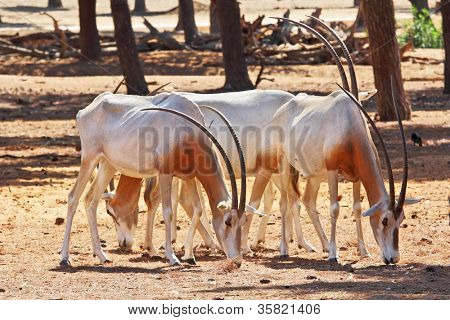 A herd of white wild goats scimitar horned oryx on a sunny summer day