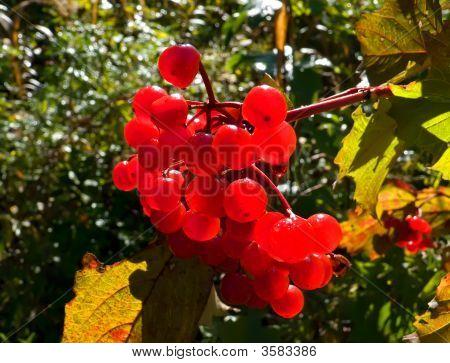 Arrow-Wood (Viburnum Sargentii)