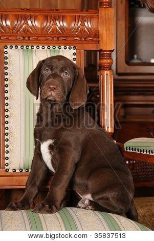 Cute Brown Puppy Portrait Sits On The Chair
