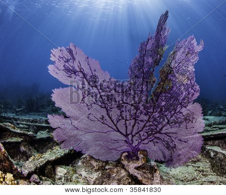 Sea Fan with Sun Burst in blue water in Key Largo, Florida