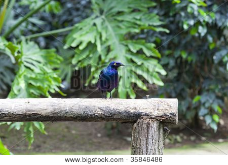 Lamprotornis Purpureus