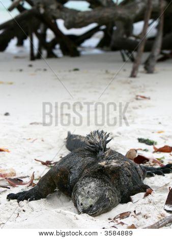 Marine Iguana On Beach