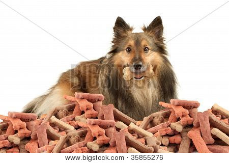 Sable Sheltie With Dogbone