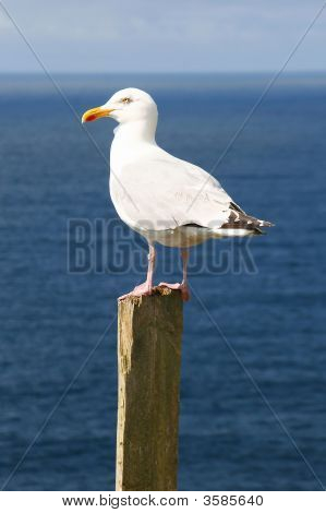 A White Seagal With The Ocean As Background