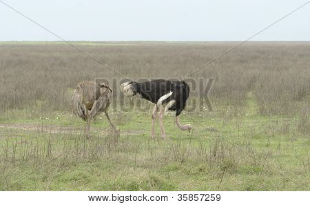 Two Ostriches In Natural Ambiance
