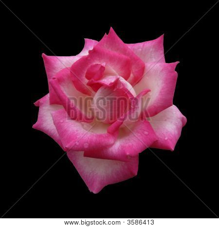 Pink And White Rose On Black