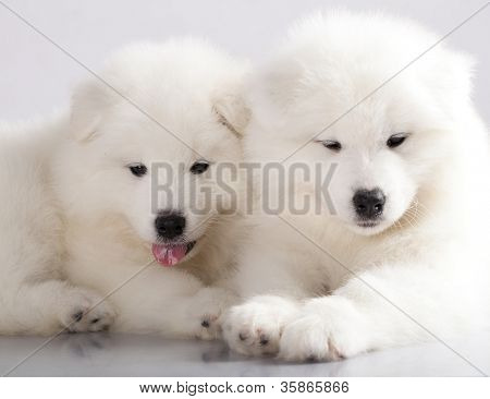 funny puppies of Samoyed dog
