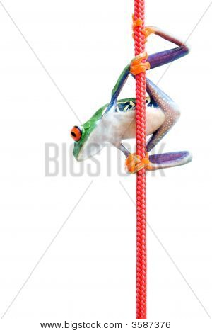 Frog Climbing Rope Isolated On White